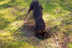 Kelpiepuppy die een gat graven stock foto