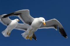 Kelpmeeuw die in de uitgespreide luchtvleugels hangt Royalty-vrije Stock Foto's