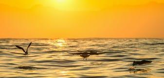 Kelpmeeuw die (Larus-dominicanus) op zonsondergang oceaanachtergrond vliegen Stock Foto's