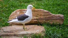 Kelpmeeuw, Featherdale-het Wildpark, NSW, Australië Royalty-vrije Stock Foto's
