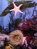 Kelps and Anemones. A variety of cold-water kelps and several anemones float gracefully stock image