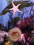 Kelps e Anemones imagem de stock