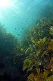 Kelpwald des seichten Wassers Lizenzfreies Stockfoto