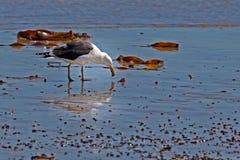 Kelpzeemeeuw die schaaldieren op strand eten royalty-vrije stock afbeelding