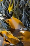 Kelpzeewier (Laminaria-digitata) en (Fucus-serratus) Royalty-vrije Stock Afbeelding