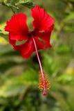 Kembang sepatu. Red kembang sepatu flower blooming in my garden Royalty Free Stock Photos