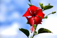 Kembang sepatu. Red kembang sepatu flower blooming in my garden Royalty Free Stock Image