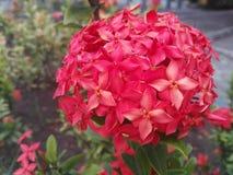 Kembang sore. The beautiful of the red kembang sore at dusk Stock Images