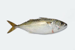 Kembong fish. Fresh water fish in Malaysia Royalty Free Stock Photography