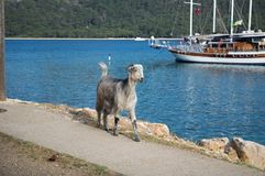 KEMER, TURKEY - MAY 07, 2018: the horned goat is on the coastal path. KEMER, TURKEY-MAY 07, 2018: a horned goat walks along a coastal path amid the Mediterranean stock photo