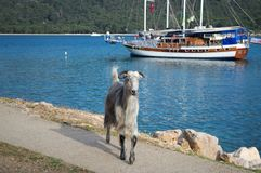KEMER, TURKEY - MAY 07, 2018: the horned goat is on the coastal path royalty free stock photo