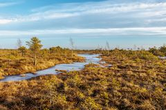 Kemeri Great swamp with autumn colored flora of winter peat bog, Latvia, Northern Europe. Kemeri national park, Latvia, Northern Europe: Scenic landscape of royalty free stock photos