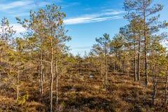 Kemeri Great swamp moorland landscape and transitional raised bog vegetation, Latvia, Baltics, Northern Europe. Kemeri national park, Latvia, Northern Europe royalty free stock photos