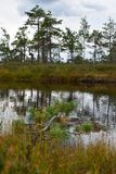 Kemeri national park, bog and lakes landscape picture with trees refelcting in the water.  royalty free stock photo