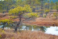Kemeri swamp landscape Royalty Free Stock Photos