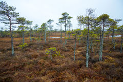 Kemeri swamp landscape Royalty Free Stock Photo