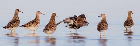 Kemphaan - Philomachus-pugnax/Calidris pugnax - groep vogels stock fotografie