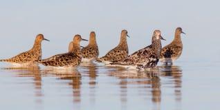 Kemphaan - Philomachus-pugnax/Calidris pugnax - groep vogels royalty-vrije stock foto's