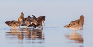 Kemphaan - Philomachus-pugnax/Calidris pugnax - groep vogels stock foto