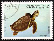 Kempi della tartaruga Olive Ridley o del Lepidochelys, circa 1983 Immagine Stock