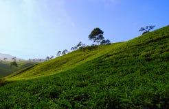 Kemuning Tea Plantation. Beautiful view of tea plantation at Kemuning Tea Plantation, Central Java, Indonesia Royalty Free Stock Photos