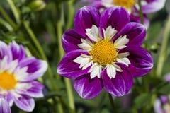 Ken ` s Gala Dahlia Flowers royalty-vrije stock foto