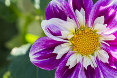 Ken`s Gala Dahlia, Partial View, Positioned Right Stock Photography