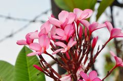 Kenanga Flower Royalty Free Stock Photos