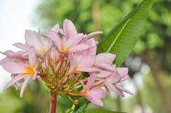 Kenanga kwiaty Zdjęcia Stock