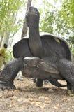 Kenia: Eine riesige Schildkröte, die durch die Mangroven in Haller-Park geht stockfotos