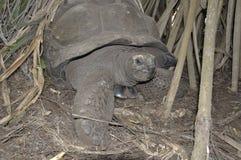 Kenia: Eine riesige Schildkröte, die durch die Mangroven in Haller-Park in Mombasa geht stockfotografie