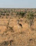 Kenia, Tsavo-het Oosten - Struisvogel in hun reserve stock foto