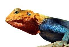 Keniaans Agama van de Rots close-upbeeld Stock Fotografie