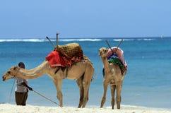 Keniaans strand met een strandjongen en kamelen tegen een blauwe hemel Stock Foto's