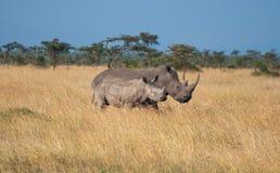 Keniaanse Rinocerossen Royalty-vrije Stock Afbeelding