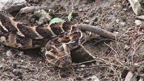 Kenijska żmija
