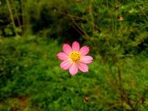 Kenikir种植花 库存图片