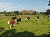 Kenilworth Castle with young cattle Stock Image