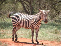 Keniya-safari Sebra arkivbilder