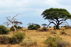 Kenja, Amboseli park, Afryka Zdjęcie Royalty Free