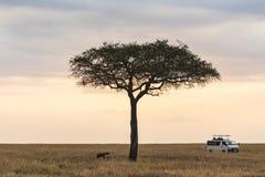 Kenja hyena's tropić zdjęcie stock