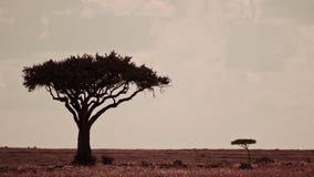 Kenja krajobraz z dwa drzewami, Masai Mara obrazy stock