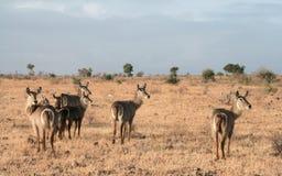 Kenja, Tsavo wschód - antylopa w ich rezerwie obraz royalty free
