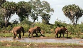 Kenja, Tsavo wschód - słonie w ich rezerwie fotografia stock