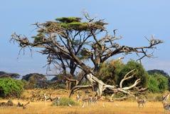 Kenja, zwierzęca przyroda Zdjęcia Stock