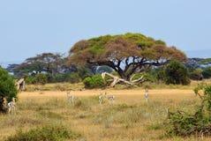 Kenja, zwierzęca przyroda Fotografia Stock