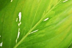 Kenmerken van bladeren, lichtgroen met vlekken dicht stock foto's
