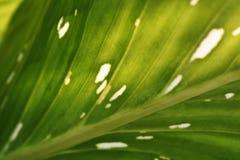Kenmerken van bladeren, lichtgroen met vlekken dicht royalty-vrije stock foto's