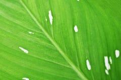 Kenmerken van bladeren, lichtgroen met vlekken dicht royalty-vrije stock foto