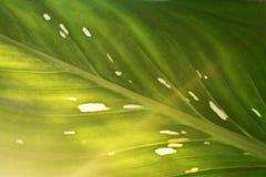 Kenmerken van bladeren, lichtgroen met vlekken dicht royalty-vrije stock afbeeldingen